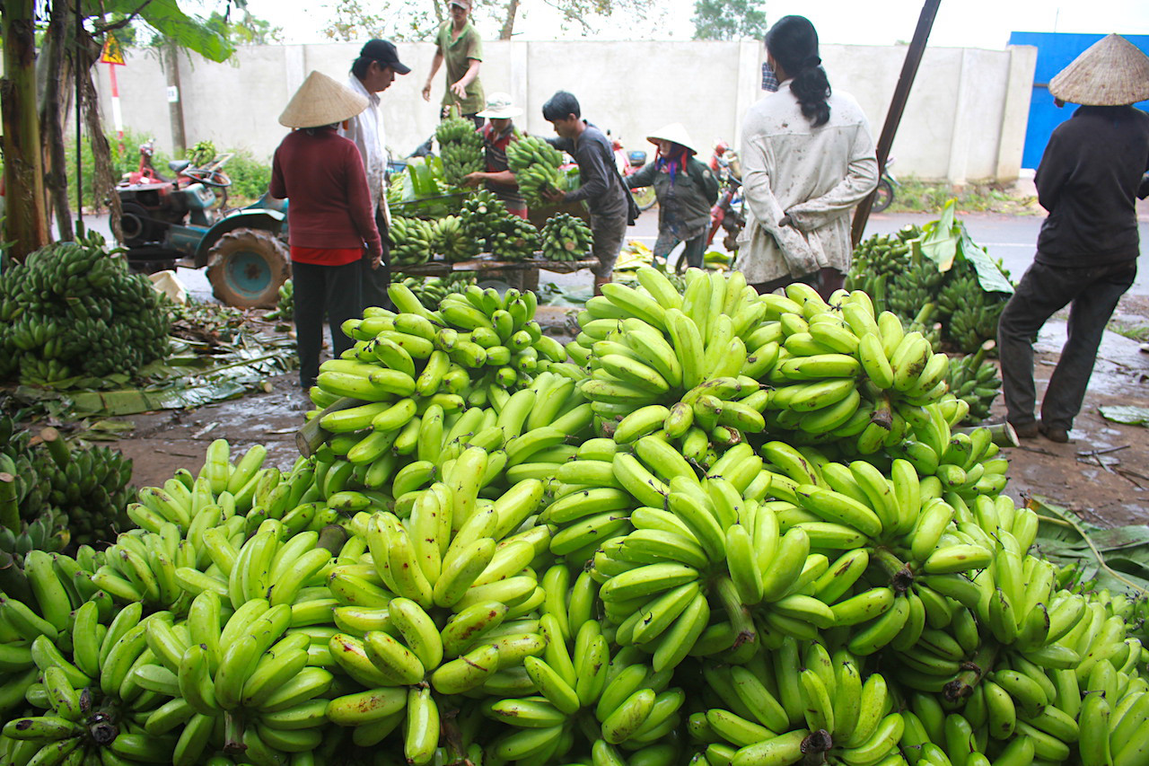 SUSTAINABLE SOLUTIONS SOUGHT FOR DECLINING  BANANA SALES