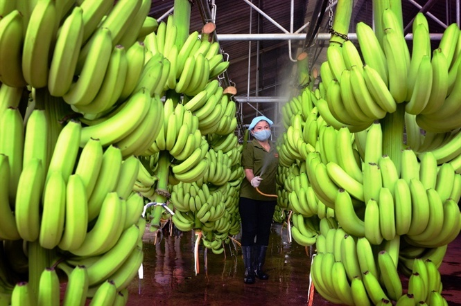 More opportunities to export for banana from Vietnam.